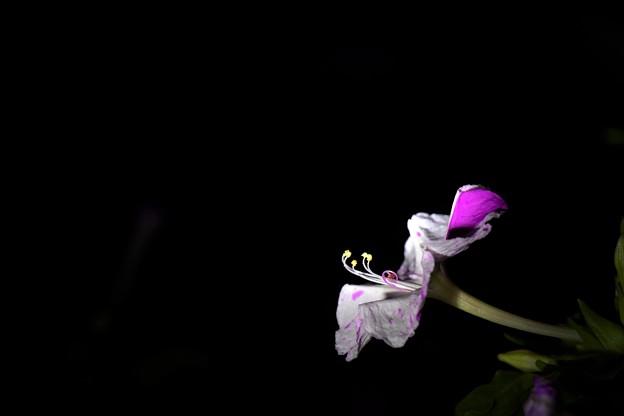 Photos: 夜に活躍する花