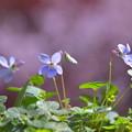 Photos: 庭のすみれ