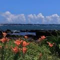 Photos: 海辺に咲く百合