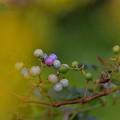 Photos: 色はとりどり・・錦ブドウ