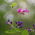 Photos: 咲き始め・・