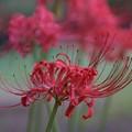 Photos: 紅色の花