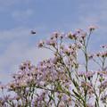 Photos: 紫苑