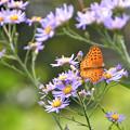 Photos: 秋の花と蝶