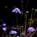晩秋の淡青紫色