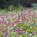 Photos: 草原はピンクに染まって・・