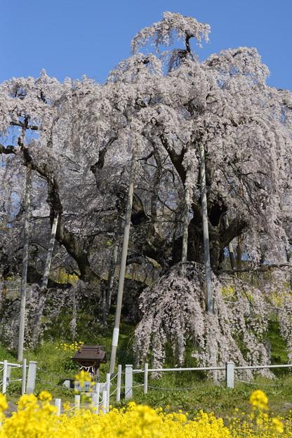 滝桜2021