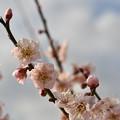 Photos: 白梅2