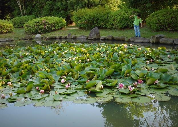 Photos: スイレンの池