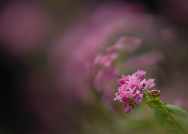 幻想の赤蕎麦の花