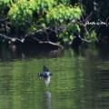 Photos: ツバメ飛翔