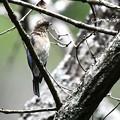 Photos: オオルリ幼鳥