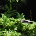 Photos: ムクドリ飛翔