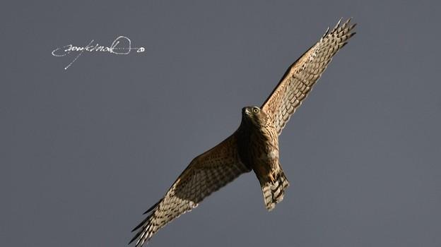 オオタカ幼鳥飛翔