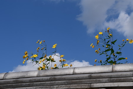塀越しのお花