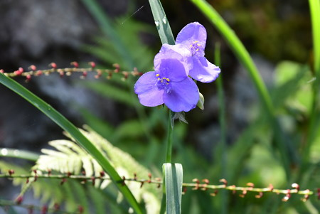 紫露草(ムラサキツユクサ)