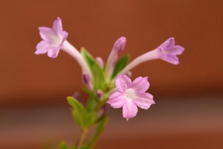 紫丁花(シチョウゲ)