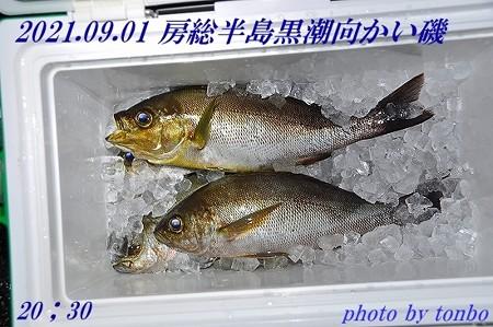 2021.09.01 南房磯釣果-02 (28~32cm)