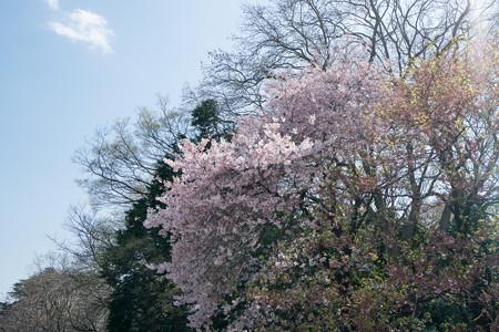 27新宿御苑【桜:アメリカ】1