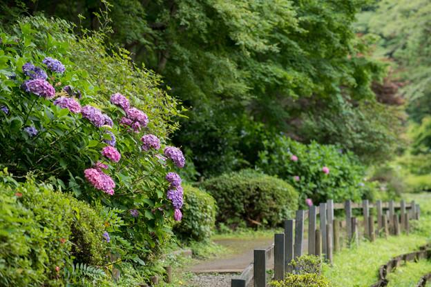 03薬師池公園【紫陽花:菖蒲田周辺】3