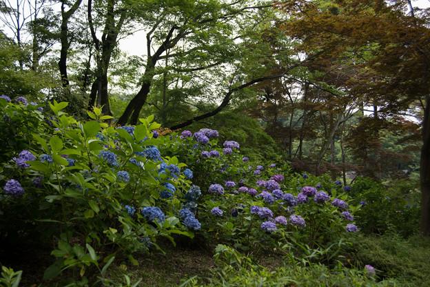 08薬師池公園【紫陽花:アジサイ山周辺】2
