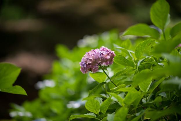 12薬師池公園【紫陽花:アジサイ山周辺】6