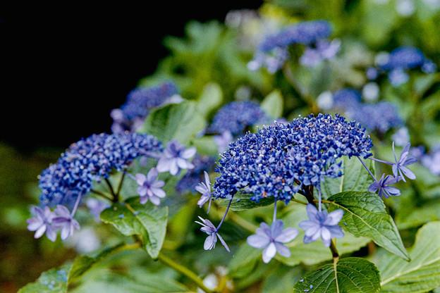 15薬師池公園【紫陽花:アジサイ山周辺】9銀塩NLP