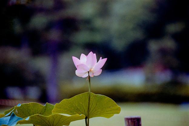 56薬師池公園【蓮の花】3銀塩NLP
