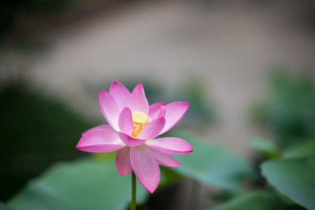 57薬師池公園【蓮の花】4