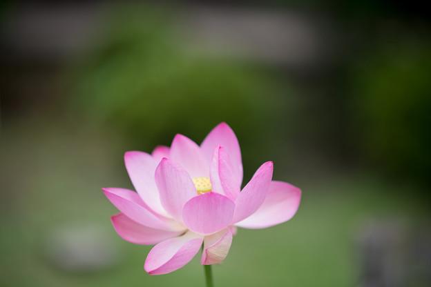 58薬師池公園【蓮の花】5