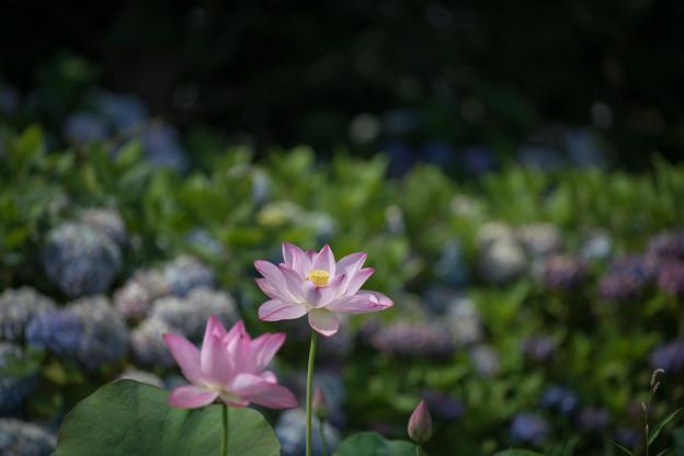 02花菜ガーデン【田んぼたんぼ:蓮の花】1