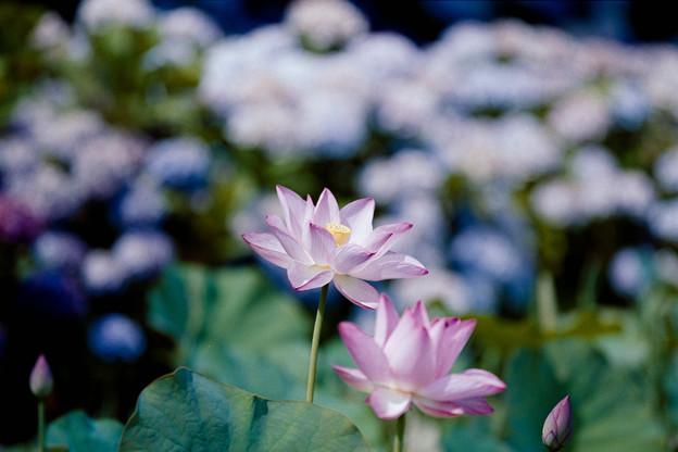 03花菜ガーデン【田んぼたんぼ:蓮の花】2銀塩NLP