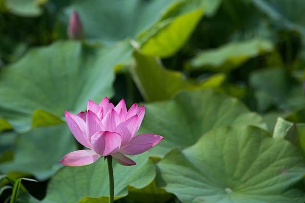 04花菜ガーデン【田んぼたんぼ:蓮の花】3