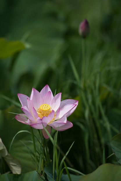05花菜ガーデン【田んぼたんぼ:蓮の花】4