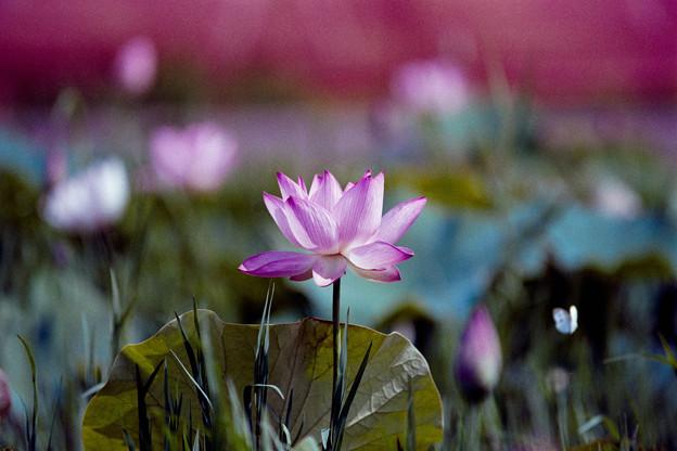 06花菜ガーデン【田んぼたんぼ:蓮の花】5銀塩NLP