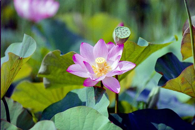 07花菜ガーデン【田んぼたんぼ:蓮の花】6銀塩