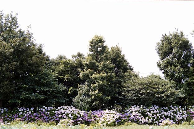 08花菜ガーデン【アジサイの園路:紫陽花】1銀塩NLP
