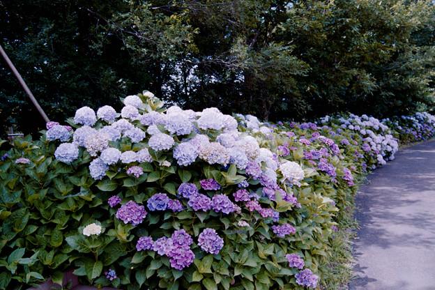 09花菜ガーデン【アジサイの園路:紫陽花】2銀塩NLP