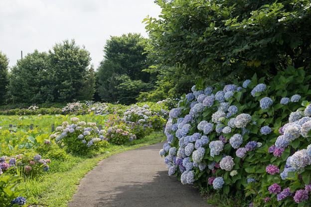 10花菜ガーデン【アジサイの園路:紫陽花】3