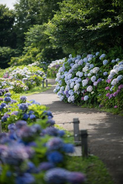 11花菜ガーデン【アジサイの園路:紫陽花】4