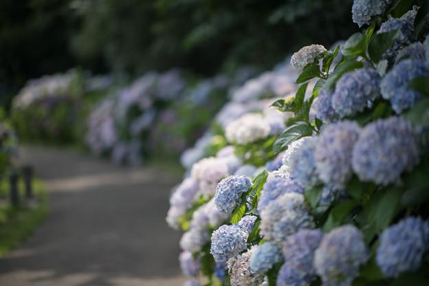 13花菜ガーデン【アジサイの園路:紫陽花】6