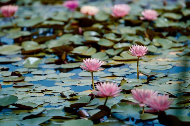 15花菜ガーデン【尾根見の池:睡蓮】2銀塩NLP