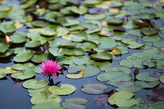 16花菜ガーデン【尾根見の池:睡蓮】3