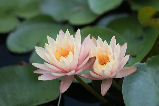 18花菜ガーデン【尾根見の池:睡蓮】5