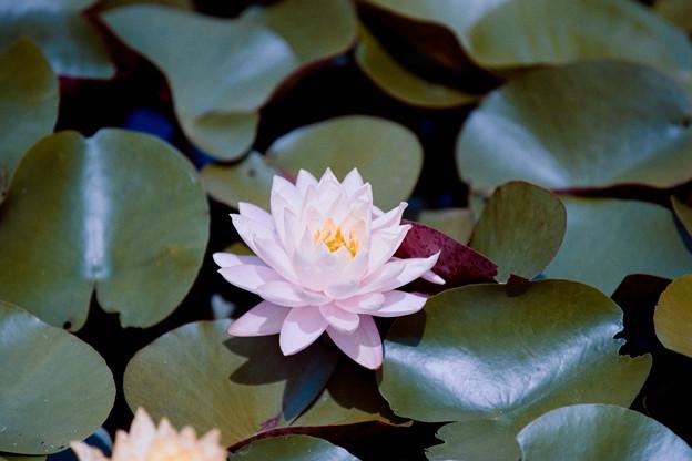19花菜ガーデン【尾根見の池:睡蓮】6銀塩NLP