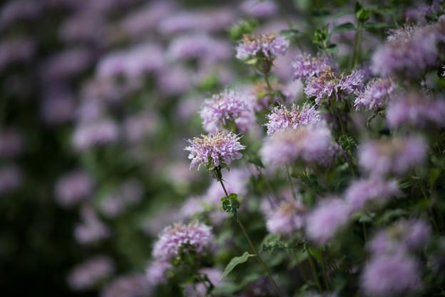 21花菜ガーデン【チャペックの庭:モナルダ】2