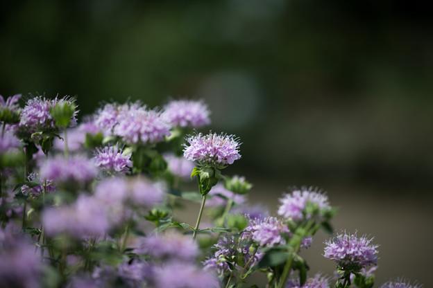 22花菜ガーデン【チャペックの庭:モナルダ】3