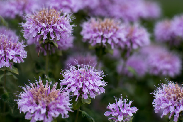 23花菜ガーデン【チャペックの庭:モナルダ】4