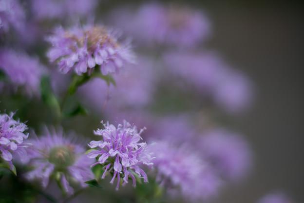 24花菜ガーデン【チャペックの庭:モナルダ】5