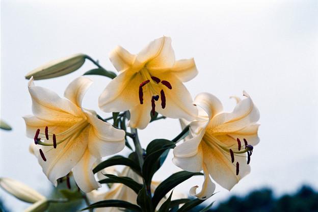 28花菜ガーデン【ユリ:コンカドール】銀塩NLP